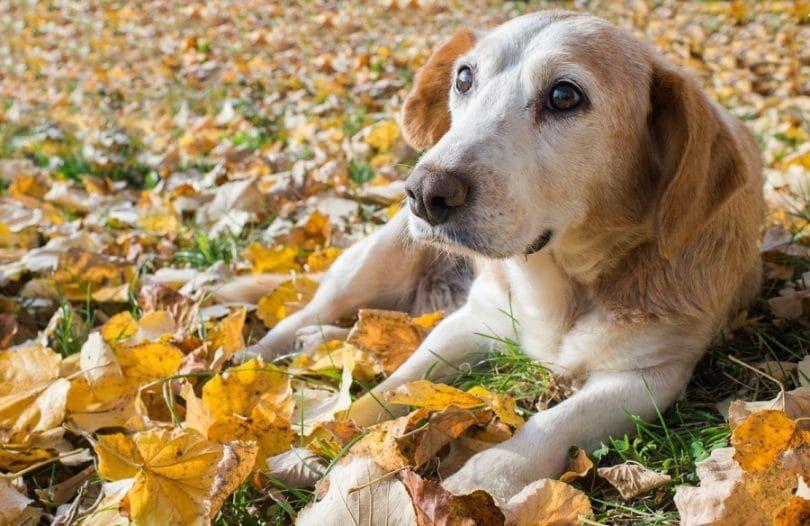 carcinoma de células transicionales en el perro