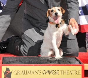 Uggie deja pawprints el teatro chino de grauman de hollywood