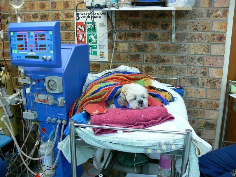 Perro sobrevive fallos renales