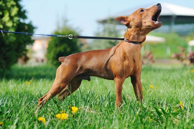 Entender por qué los perros ladran (y cómo hacer que se detengan!)