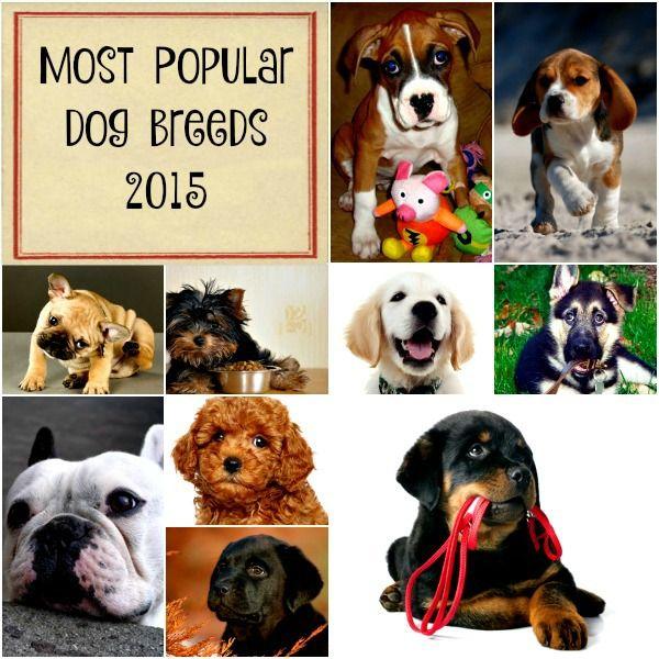 Razas de perros más populares de los eeuu