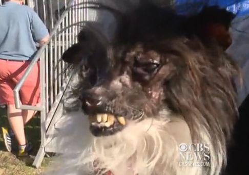 VГdeo: perro mГЎs feo del mundo se corona