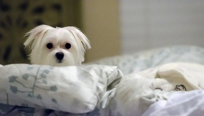 Quieren un mejor sueГ±o Deje que su perro en la cama