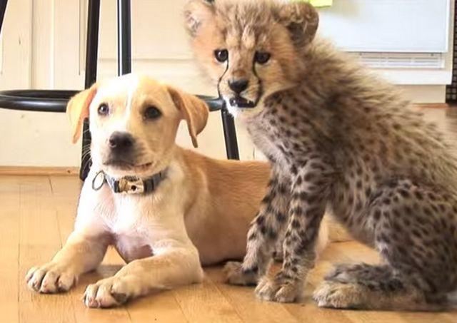 Ver: perro y cachorro de guepardo son improbables mejores amigos