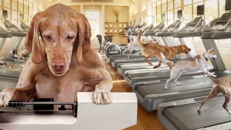 control de peso en seco de perro de oro