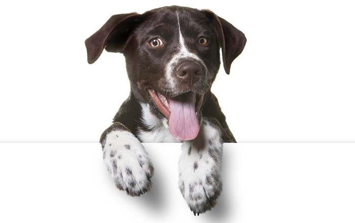 ¿De qué raza es mi perro? Aquí es cómo decir la raza de su perro
