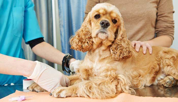 Pruebe con un kit de prueba de ADN de perro