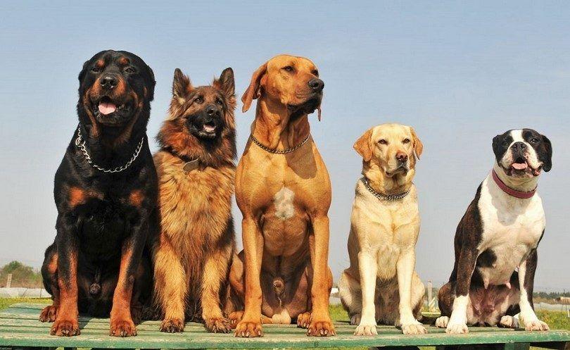 Las diferentes razas de perros