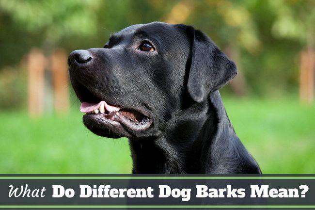 ¿Qué significan los diferentes ladridos de perro? Aprender lo que su laboratorio está diciendo!