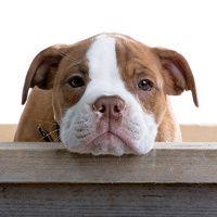 Cara del perrito del dogo