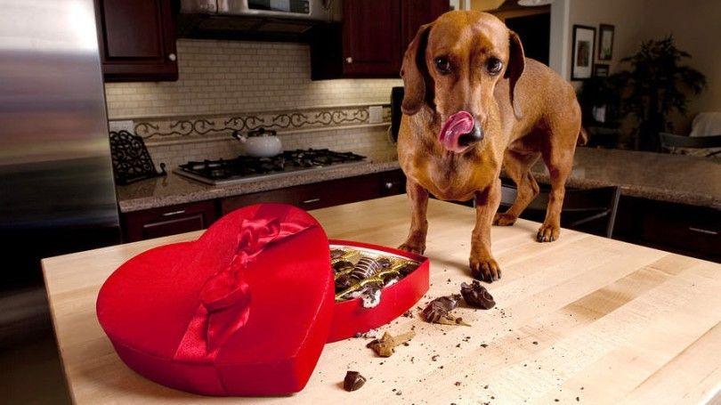 ¿Qué alimentos son malos para los perros: la comprensión de la importancia de los perros de alimentación adecuada