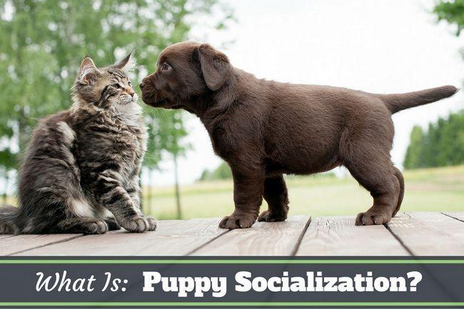 ¿Cuál es la socialización del perrito? Por que es tan importante?