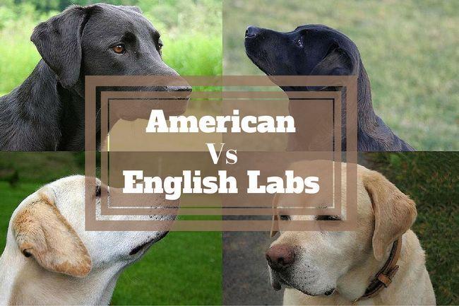 ¿Cuál es la diferencia entre labradores americanos e ingleses