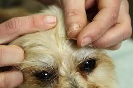 ¿Qué es la acupuntura veterinaria y que puede ayudar a su perro?