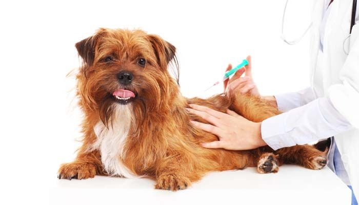 ВїQuГ© vacunas necesitan los cachorros - Perro Esquema de vacunaciГіn