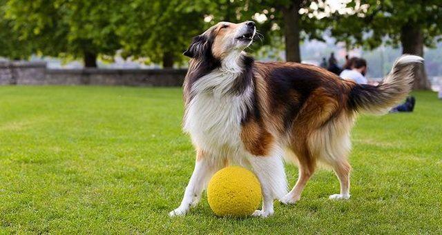 Perro afuera con un balón ladridos