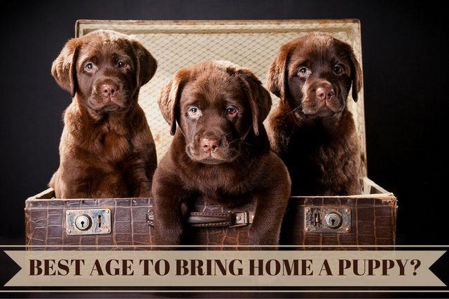 Mejor edad para traer un cachorro a casa del labrador: 3 cachorros de Labrador del chocolate en un tronco