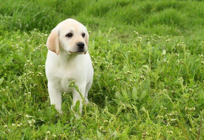 labrador amarillo cachorro sentado en la hierba verde, a largo