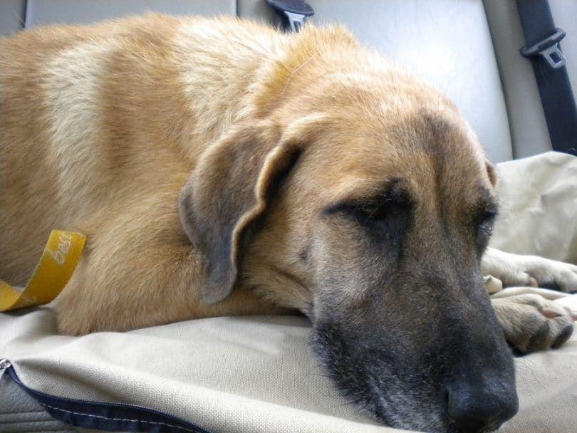 la eutanasia del perro