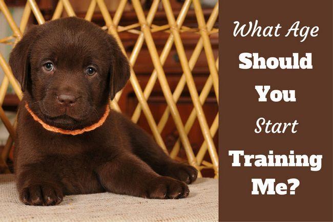 cuándo comenzar a entrenar a un cachorro - un cachorro de laboratorio en busca de cámaras