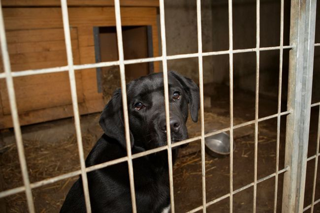 Un Labrador de mirada triste en un cajón