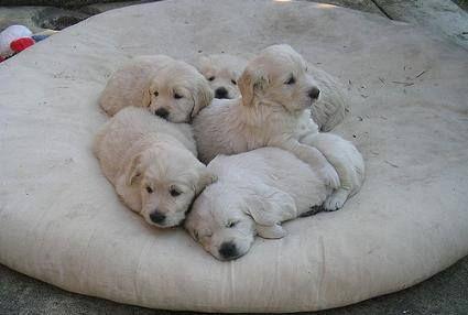 Dónde obtener un Labrador: 5 cachorros de Labrador en una bolsa de frijoles