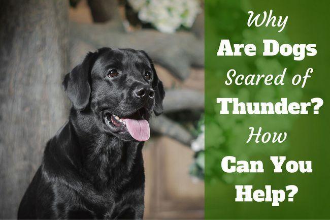 ¿Por qué los perros miedo a los truenos? ¿Cómo puede ayudar thunderphobia?