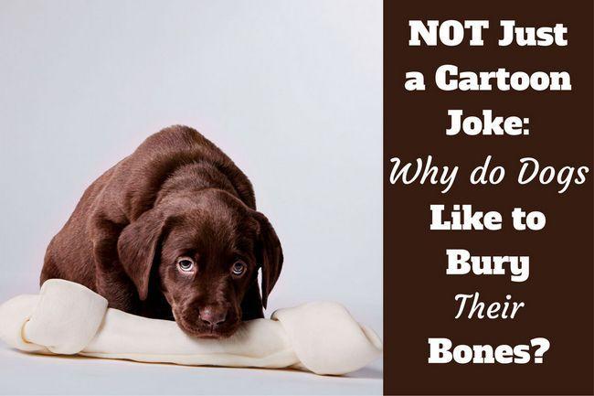 ¿Por qué los perros entierran huesos escritas al lado de un cachorro de laboratorio choc que guardan un enorme hueso sintético
