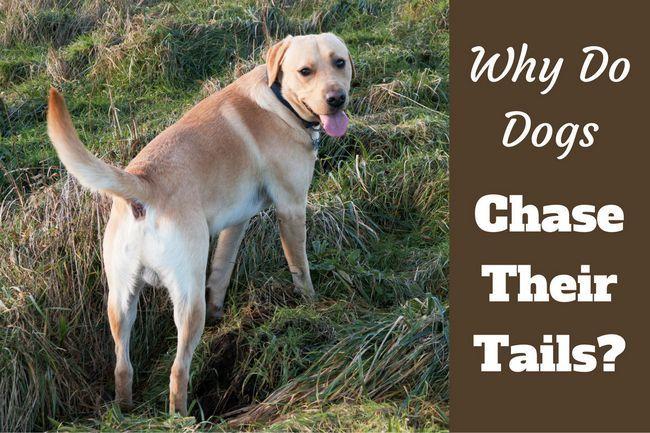 Por qué los perros persiguen sus colas? ¿Alguna vez es nada de qué preocuparse?