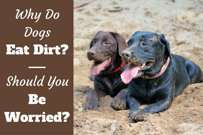¿Por qué los perros comen tierra? Me cuesta leer y tratar de detenerlo?