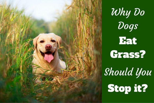 ¿Por qué los perros comen hierba? ¿Es cierto lo hacen cuando están enfermos?