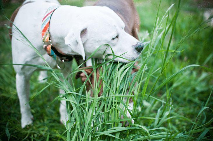 ¿Por qué los perros comen hierba: razones principales y curiosidades interesantes