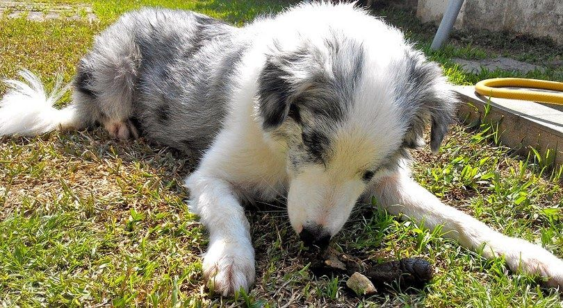 ¿Por qué los perros comen caca: causas y los métodos de prevención