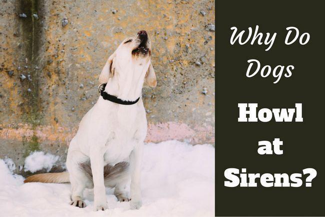 ¿Por qué los perros aúllan en las sirenas?