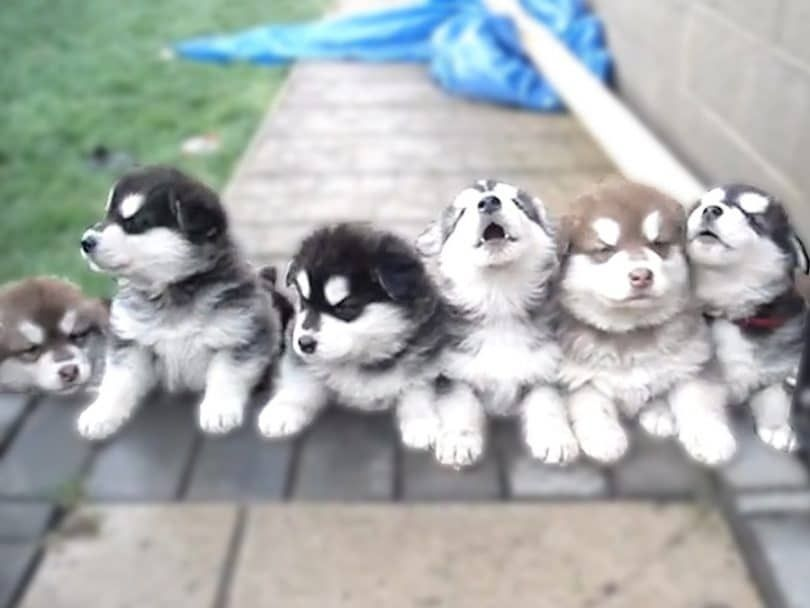 perros aúllan