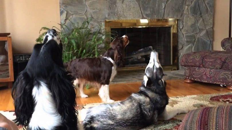 Los perros aulladores