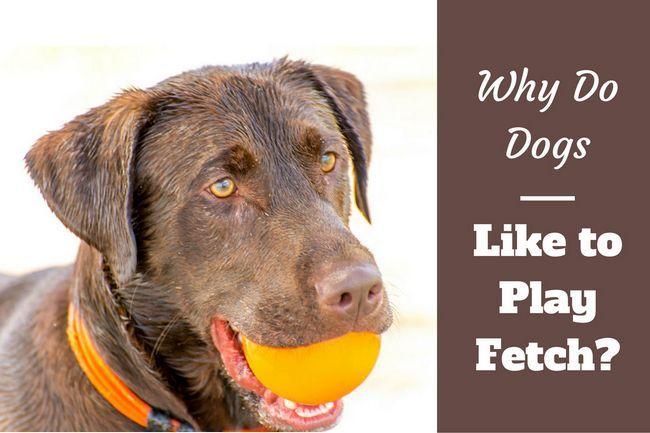 ¿Por qué los perros les gusta jugar a la pelota?