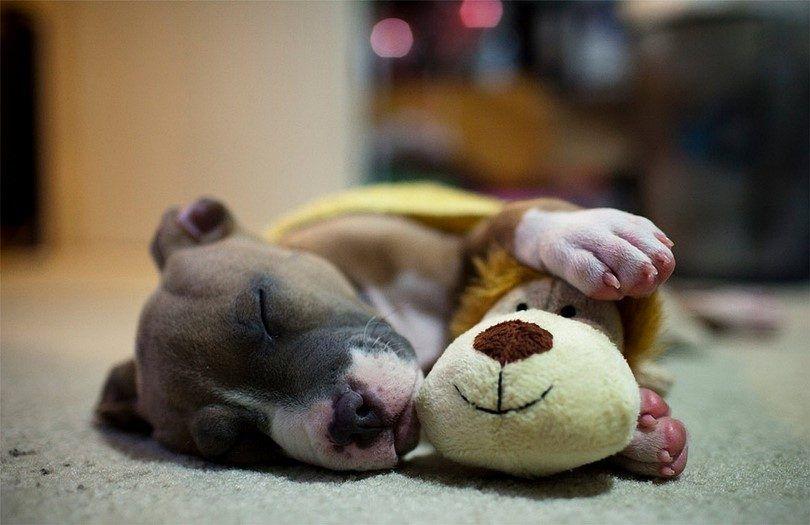 El perro que duerme con un juguete