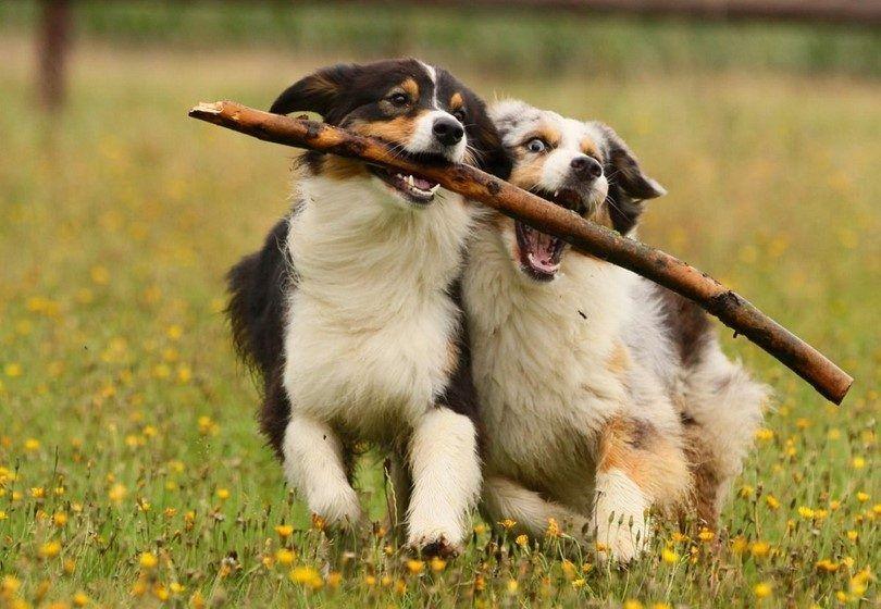 perros activos