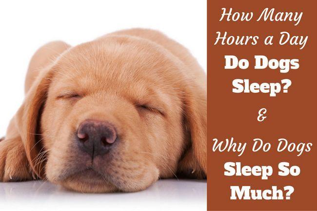 ВїPor quГ© los perros duermen tanto escritos al lado de un primer plano de un cachorro de laboratorio para dormir`s face