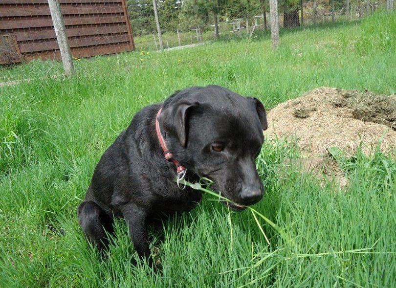 ¿Por qué come mi perro hierba: principales causas y los métodos de prevención