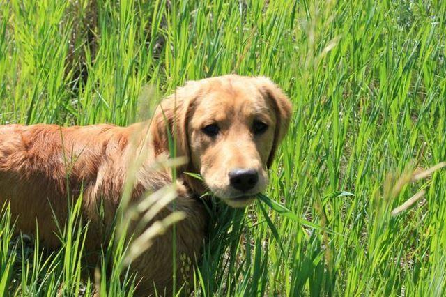 ¿Por qué come mi perro hierba?