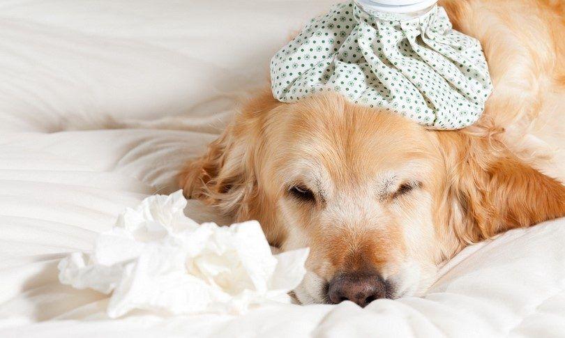 Perro con la gripe
