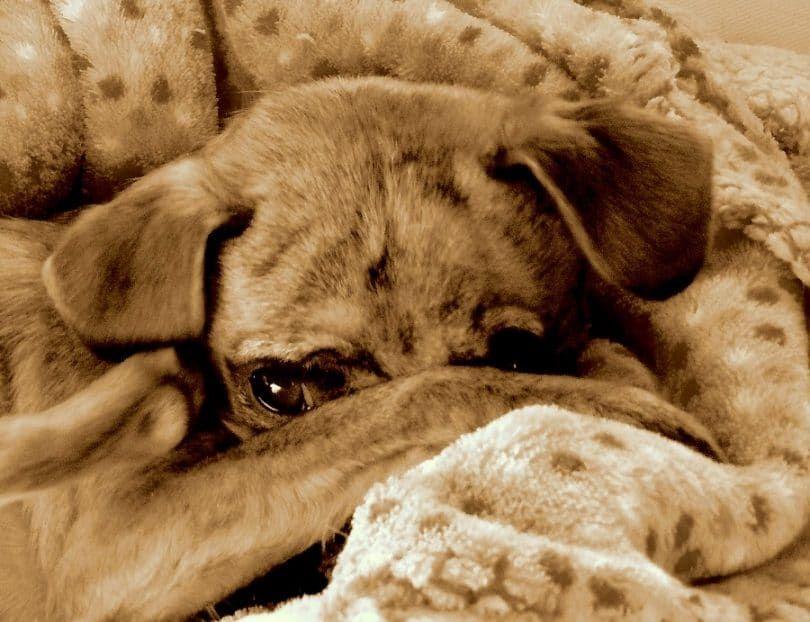 Los perros que la tos