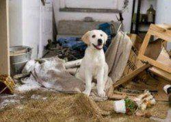 ¿por qué utilizar una caja de perro - un cachorro de laboratorio sentado en una habitación que ha destruido