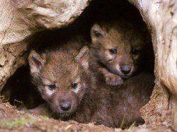 Es cruel con cajón de un perro - 2 cachorros de lobo asoma desde su madriguera