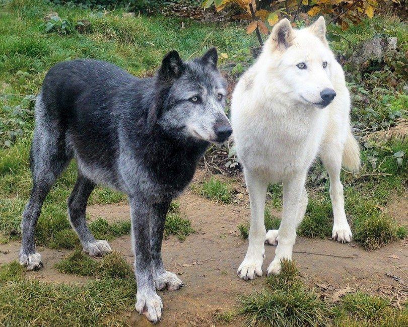 Checoslovaca perro lobo
