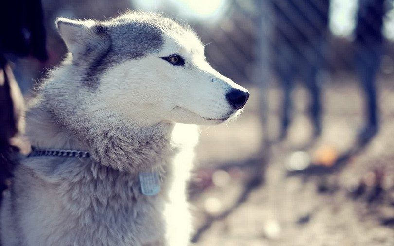 Husky siberiano hermoso