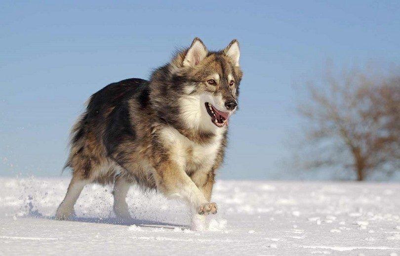 El perro lobo como utonagan