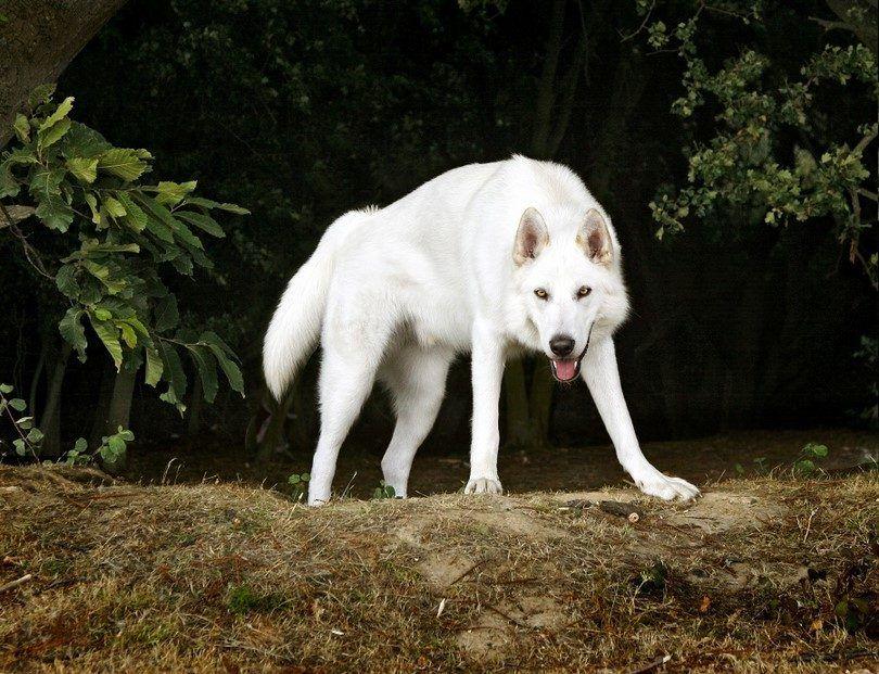 El perro septentrional del Inuit